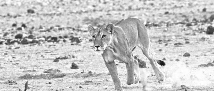 An image of a female lion running in the desert.